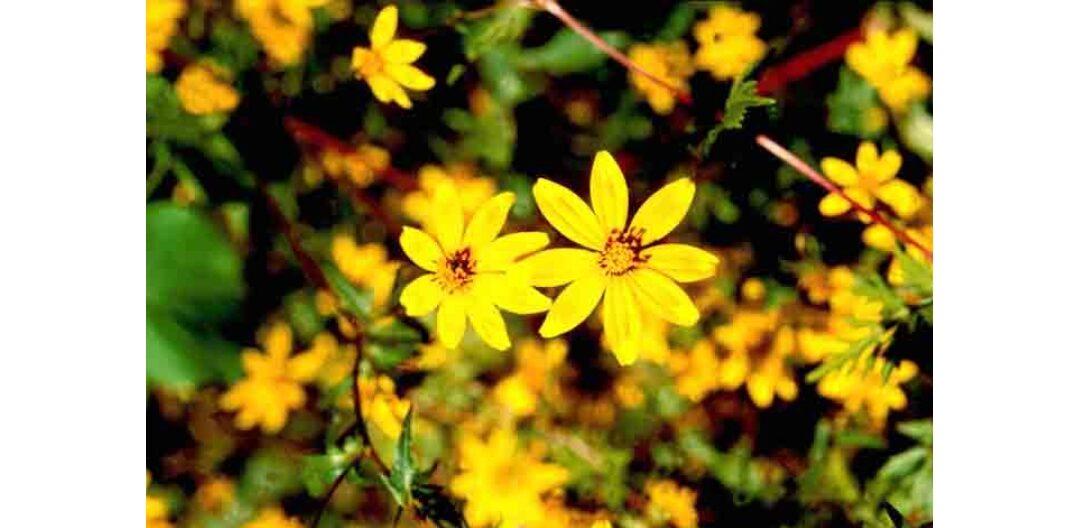 Una leggenda bilena: adei abeba, il fiore del Mascàl