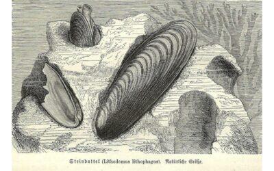 Datteri di mare